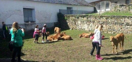 Los escolares aprenden muchas cosas del ganado. - araujo
