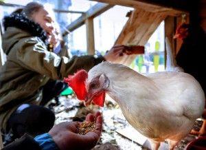 Los alumnos dan de comer a las gallinas. R. GARCÍA -
