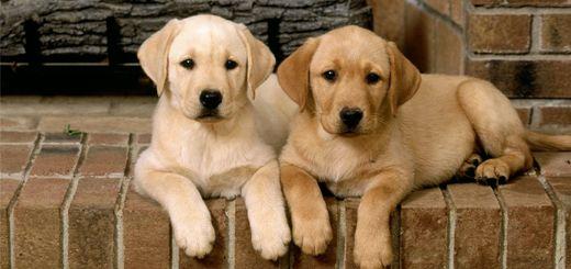 perros-labradores
